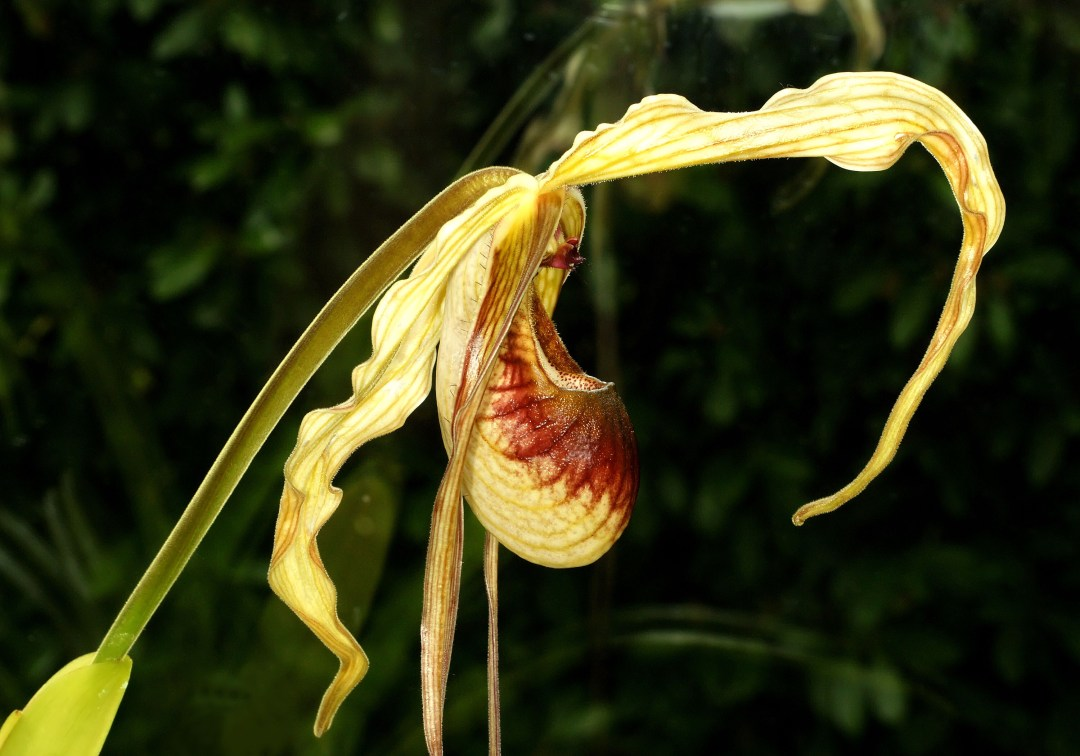 Clearing Blockages - Phragmipedium caudatum