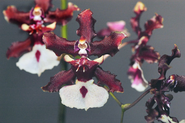 Harmony of Heart - Oncidium 'Sharry Baby'