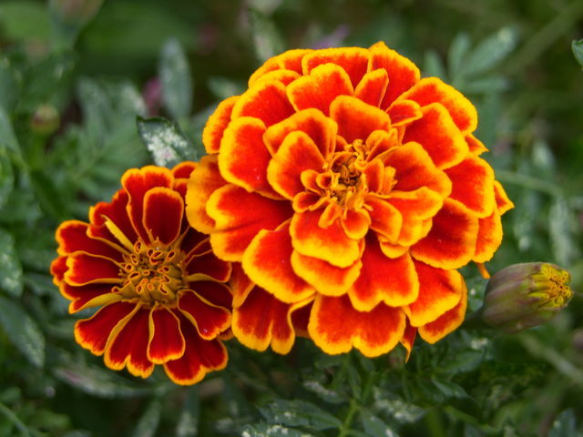 Planting Marigolds   Orchid Flowers Marigolds are among one of the flowers that have long life  These are very  beautiful looking flowers having eye catching colors like yellow  orange  and red