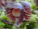 Corysanthes diemenica