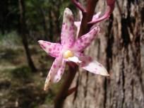 Dipodium pardina