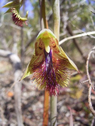 Calochilus cupreus Bearded orchid