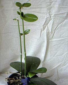 kiki plant