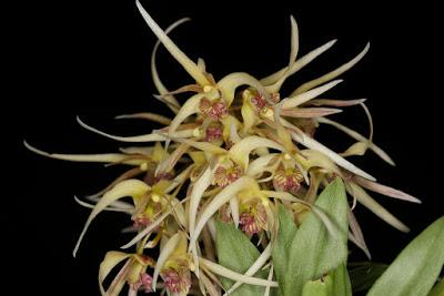 Dendrobium denudans