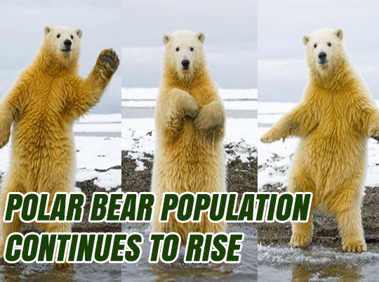 Experts Wrong About Polar Bears Too
