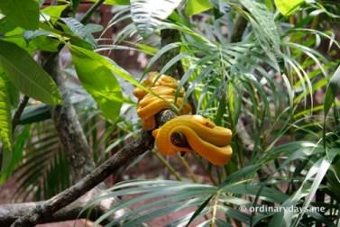 Yellow snakes sleeping