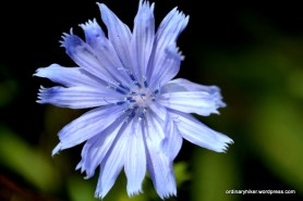 First Chicory
