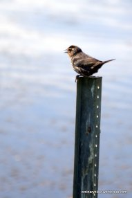 Young Swallow On the Lookout