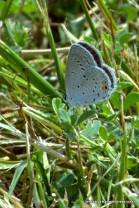 Eastern Tailed Blue, Norma Johnson Center