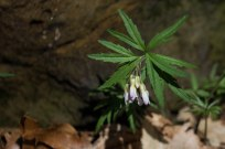 Toothwort and its serated leaves
