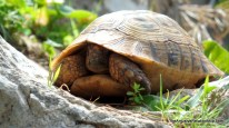 Shy tortoise.