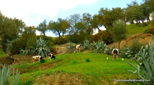 Cows, agave, and egrets.