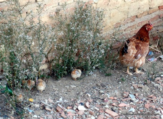 Mother and chicks