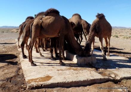 Watering the herd