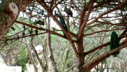 Peafowl in the trees in São Jorge Castle