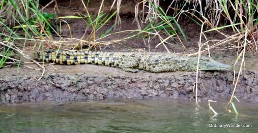 River crocodile