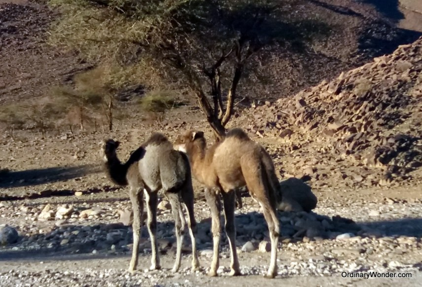 Young camels