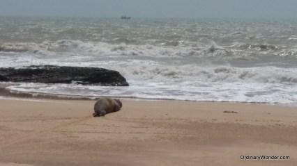 Rare Mauretanian sea lion