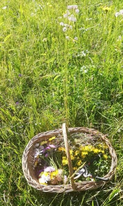 plante de ceai de pe dealurile din Ciocanu