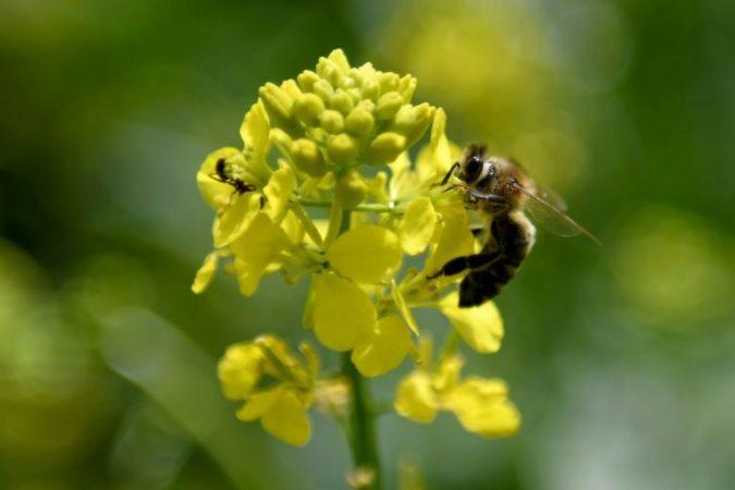 In Albania bees make their honey from the coronavirus