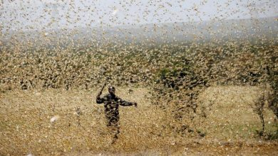 Photo of Locusts attack cities in India: insects eat literally everything