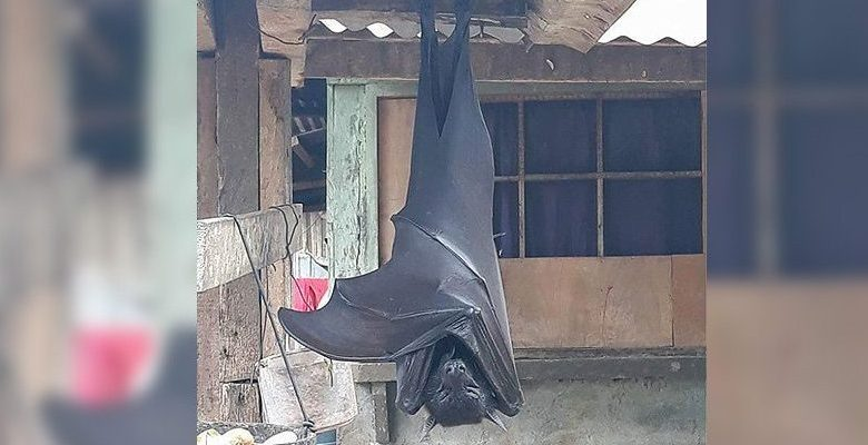 Heres what we know about a human sized bat