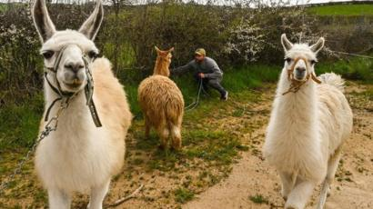 Llamas will help fight coronavirus