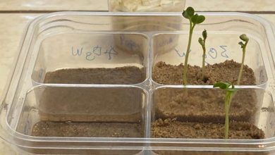 Photo of NASA experiment: radishes can grow in lunar regolith