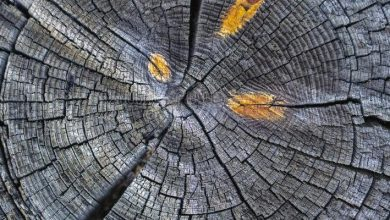 Photo of Tree rings show a climatic anomaly that began in the 20th century