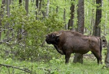 Wild bison will appear in the UK in 2022