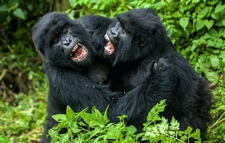 Another common feature found between gorillas and humans