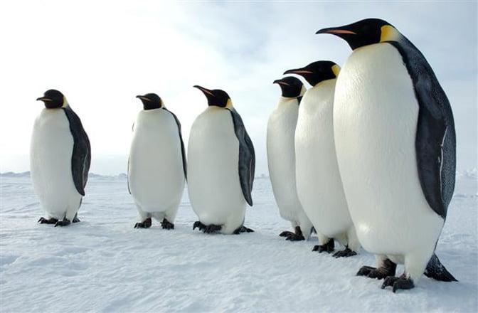Scientists discover 11 previously unknown emperor penguin colonies in Antarctica