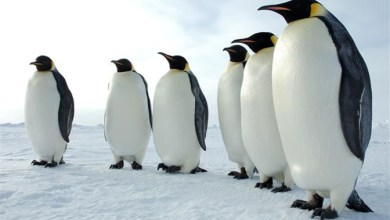 Photo of Scientists discover 11 previously unknown emperor penguin colonies in Antarctica