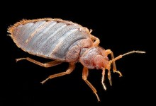 Tropical bed bugs appeared in Russia