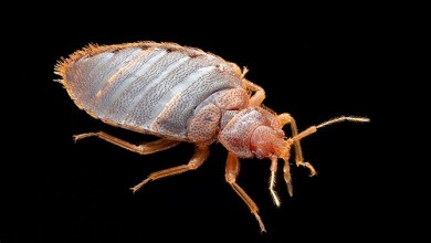 Photo of Tropical bed bugs appeared in Russia