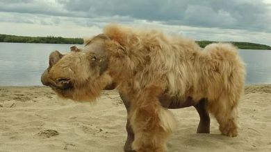 Photo of Woolly rhino DNA points to animal extinction
