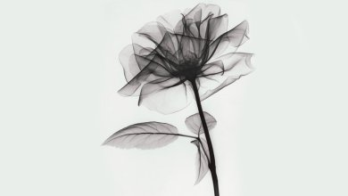 Photo of X-ray portrait of a rose