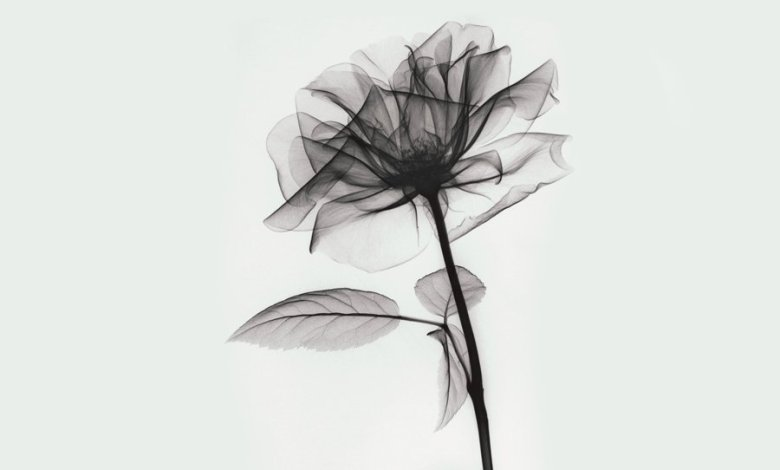 X ray portrait of a rose