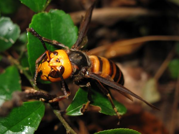 The giant Asian hornet could spread around the world