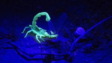 Photo of Australia suffers from human scorpion invasion