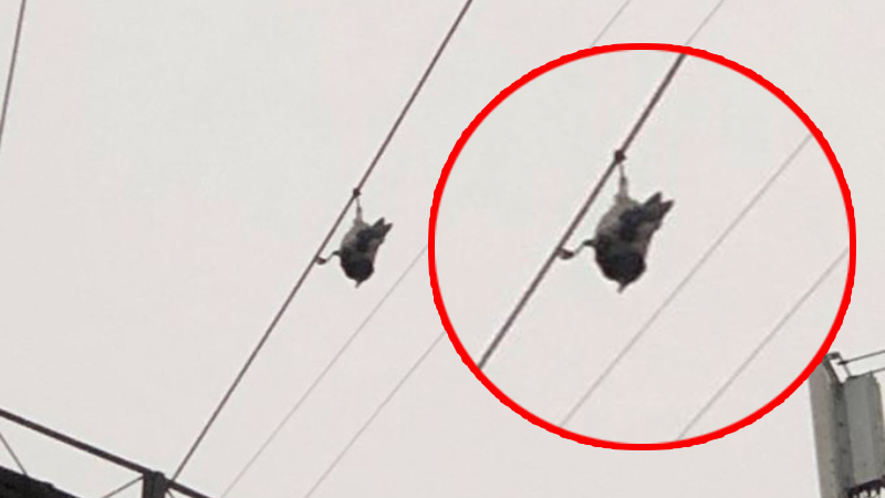 A crow hanging with its head down has puzzled netizens