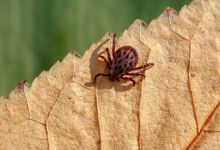 Global warming could make ticks attack humans more often than dogs