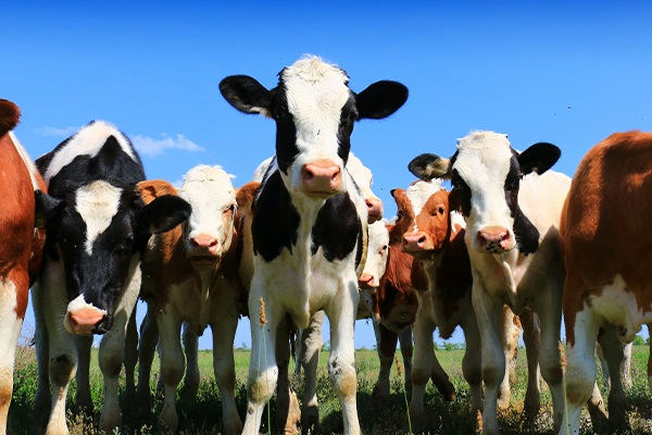 The phenomenon of cattle mutilation occurs in the US state of Oklahoma