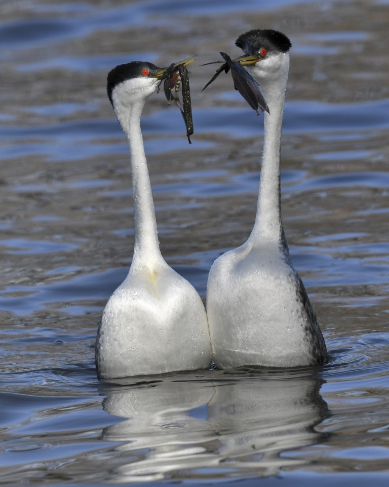 Western Grebes, photo by Howard West