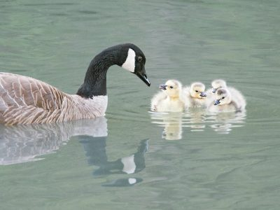 April Photo Contest Winner: Canada Goose with young, photo by John Kistler