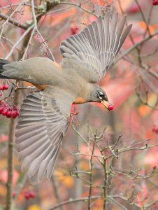American Robin, photo by John Kistler