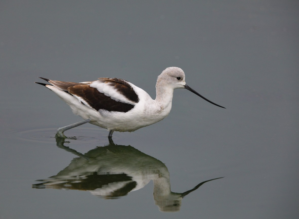 American Avocet, photo by Karl Schneck