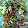 Green Oak Leaves in the Summer, Orange/Red Oak Leaves in the Fall 8.30.17