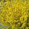 Flowering Forsythia Branches