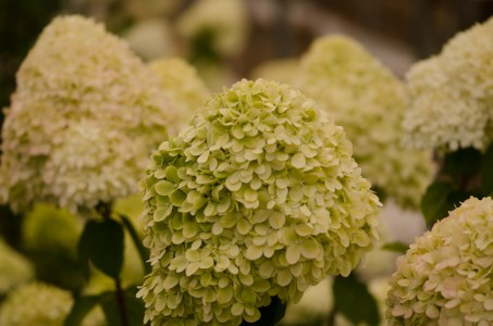 Lime Green Hydrangea Wedding Flowers